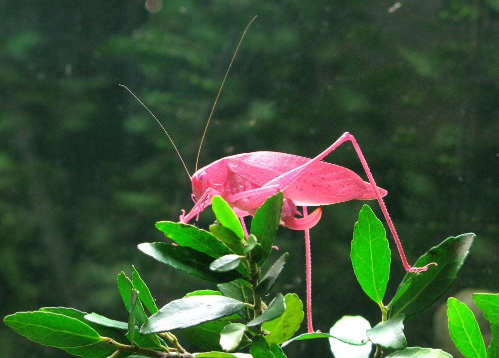 pink katyd